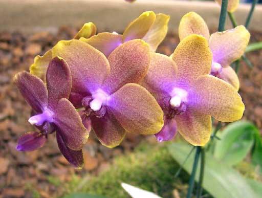 Комнатные цветы. черная орхидея цветок ф.